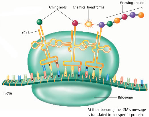 what-is-the-second-step-of-protein-synthesis